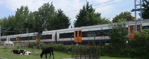 cows_train